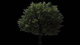 tree 08 Stock Video Footage