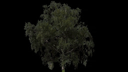 tree 11 Stock Video Footage