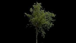 tree 22 Stock Video Footage