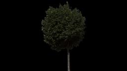 tree 26 Stock Video Footage