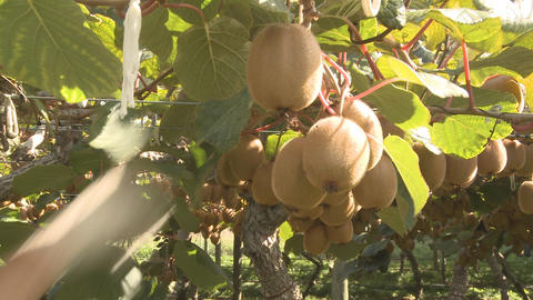 kiwifruit being picked close view Stock Video Footage