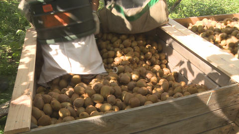 picked kiwifruit into bin and pan Stock Video Footage