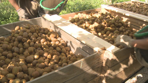 picked kiwifruit into bin and pan Footage