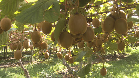 kiwifruit on the vine Stock Video Footage