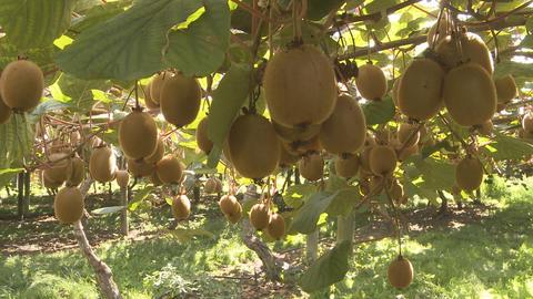 kiwifruit on the vine Stock Video Footage