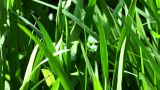Beautiful Green Grass In The Garden stock footage