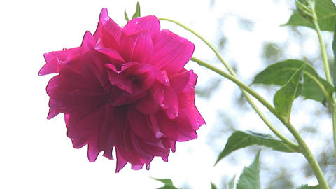 flower 4 Stock Video Footage