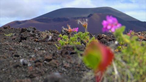 plant living on dead volcanic ground defocus Stock Video Footage