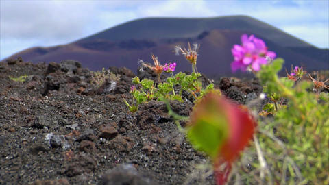 plant living on dead volcanic ground defocus Stock Video Footage