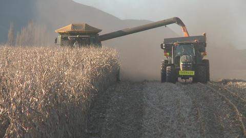 corn harvest long rows Footage