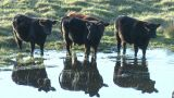 Cows Drink From Water Hole stock footage