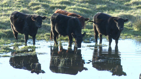 cows drink from water hole Stock Video Footage