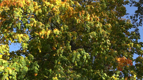 Yellow maple leaves against the blue sky Footage