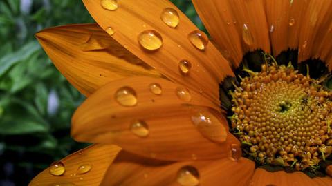 Droplets on Orange Flower 圖片