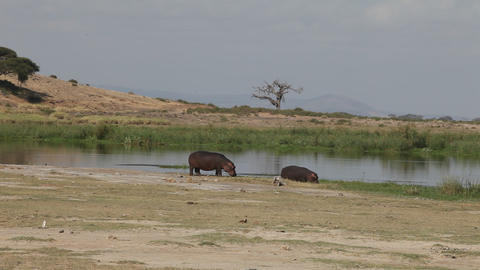 Female hippo and her cub on the lake Footage