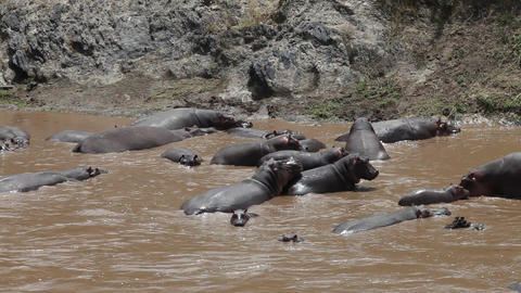 Large herd of hippopotamuses in Mara river. Kenya Footage