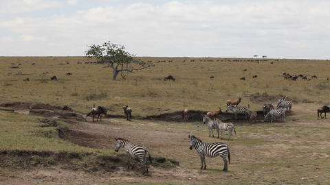 African zebras migrate Footage