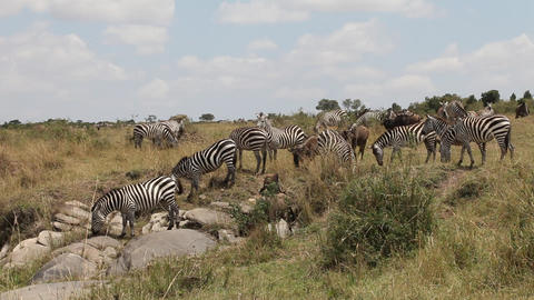 Close Up Of A File Of Zebras Migrating Footage