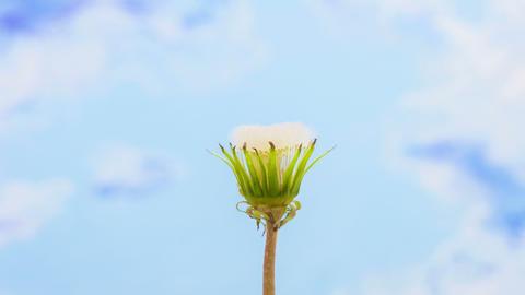 Dandelion Blooming Timelapse stock footage