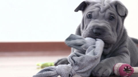 Shar Pei Pup Playing With Its Rag stock footage
