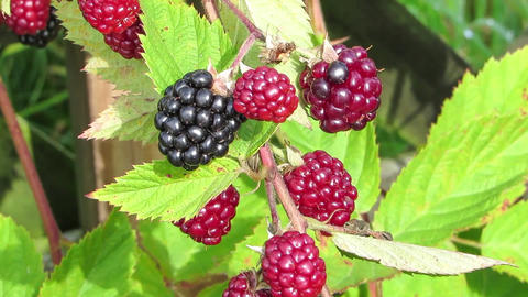 blackberries Footage