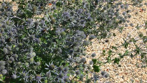Feverweed flowers Footage