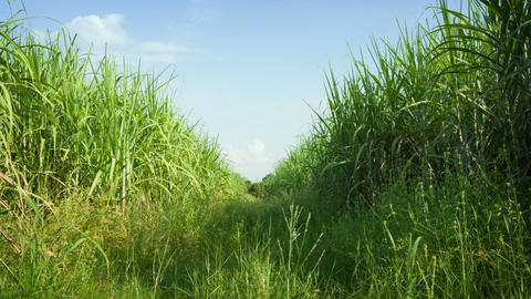Sugarcane field. Thailand Footage