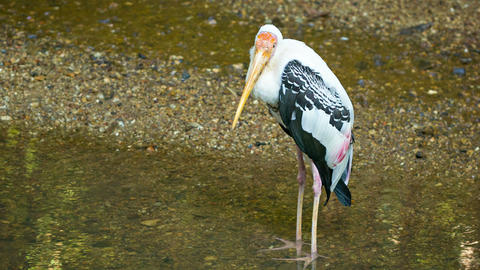 Yellow-billed stork in a puddle (Mycteria ibis) Footage