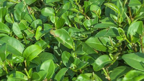 Growing tea leaves close up Footage