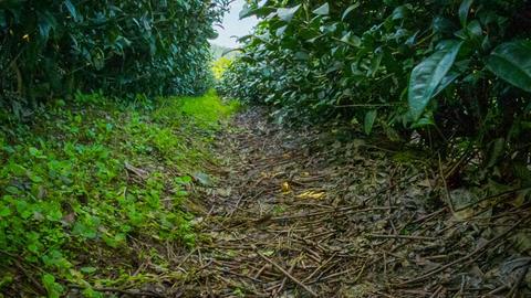 Tea bushes at the mountainous plantation Footage
