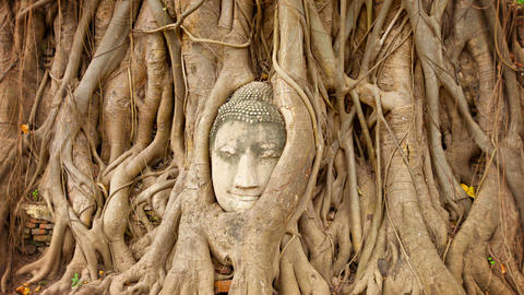 Stone face buried in the roots of a tree. Thailand Footage