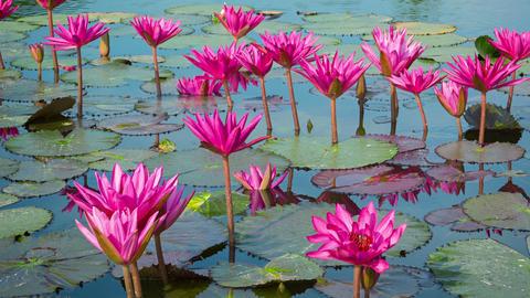 Purple water lilies in garden ponds Footage