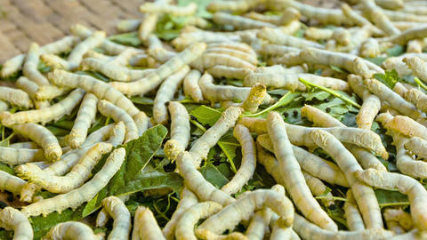 Moth caterpillars. Animals used for the silk produ Footage