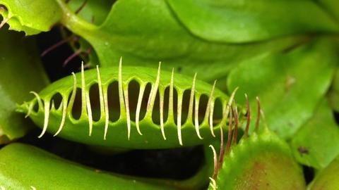 Closing Venus Flytrap (Dionaea Muscipula) Plant 1x stock footage