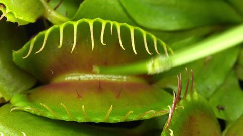 Closing Venus flytrap (Dionaea muscipula) plant UH