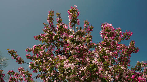 The cherry bloom plant waving on the breeze of the Footage