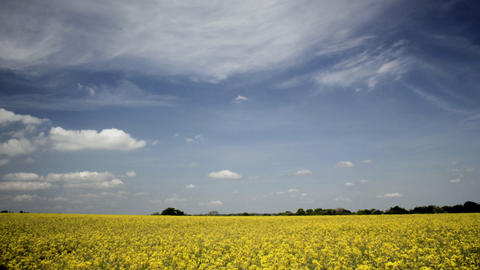 Rapeseed Timelapse Stock Video Footage