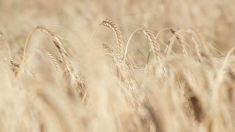 Wheat Rack Focus Stock Video Footage