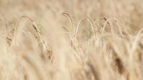 Wheat Rack Focus Stock Video Footage