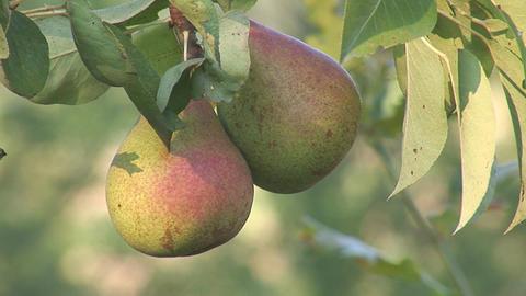 pear 2 Footage