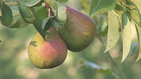 pear 2 Stock Video Footage