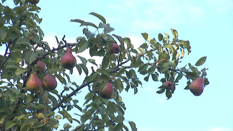 pear 4 Stock Video Footage