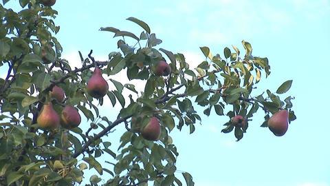 pear 4 Footage