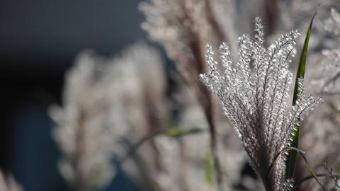 Silver feather grass Stock Video Footage