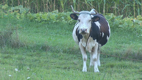 cow 4 Stock Video Footage