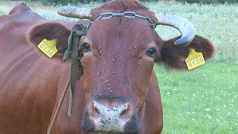 cow 8 Stock Video Footage