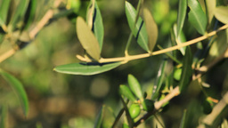 Olive branches with green fruits Stock Video Footage