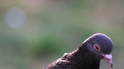 Pigeon, close up Stock Video Footage