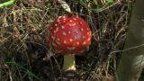Mushroom Fly Agaric stock footage