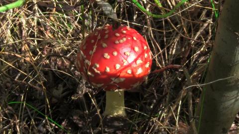 mushroom fly agaric Stock Video Footage